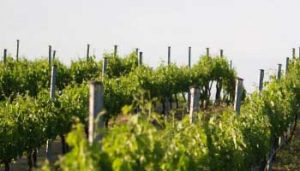 Canberra Wineries